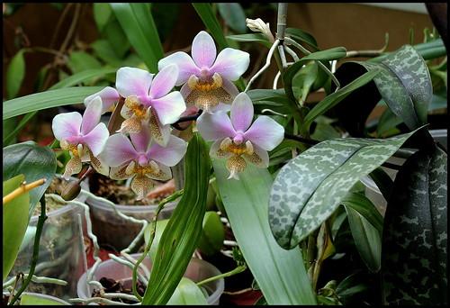 Phalaenopsis wiganiae 20719401913_447ae57acc