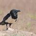Gralha-de-barriga-branca - Corvus albus - Pied Crow
