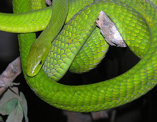 Dendroaspis angusticeps--  the Green Mamba | by Dick Culbert