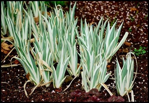 Iris pallida - groupe pallida - Page 2 22017889053_319b877f4a