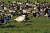 Barnacle Goose, Campfield Marsh, Cumbria, England by Terathopius