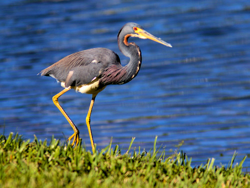 Tricolored Heron 03-20170105