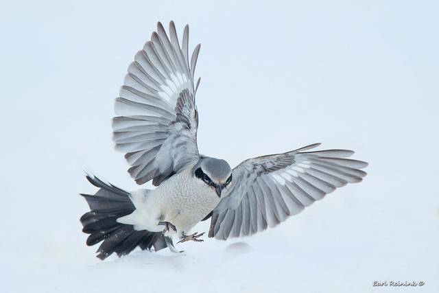 Northern Shrike - hunting