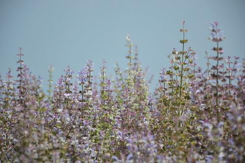 Salvia sclarea - sauge sclarée 32922569095_c812f52ed7
