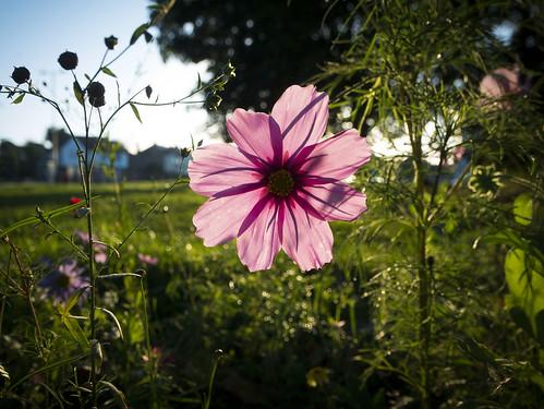 morning wild sunrise lumix dawn olympus dew backlit wildflower pansonic f4056 gx7 m918mm