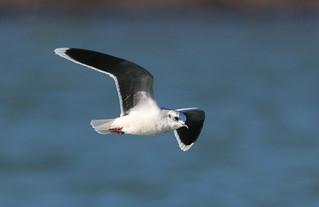 OH Little Gull | by Victor W. Fazio III