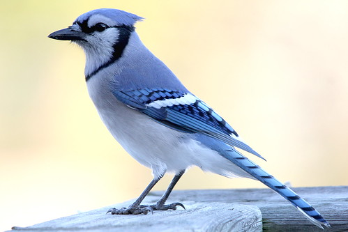 blue autumn holiday ontario canada bird nature beautiful canon poser october soft jay background feathers posing georgetown bluejay 500mm throughglass 2015 bluebeauty onthepatio northamericanbird canadianbird canon60d outondeck
