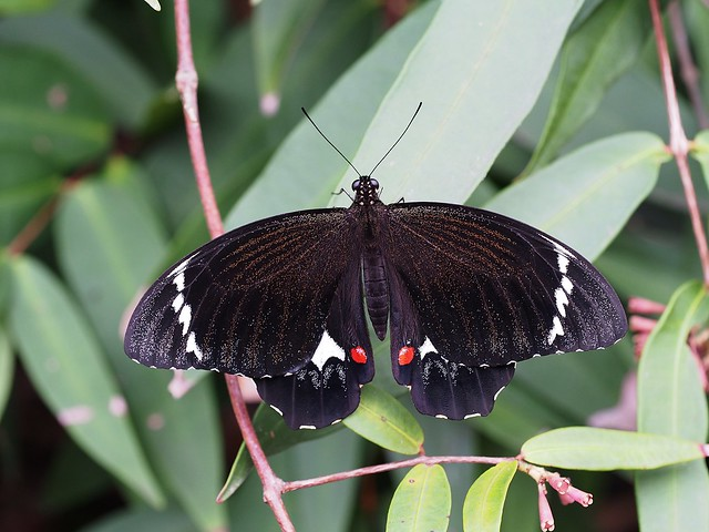 Male Orchard Swallowtail