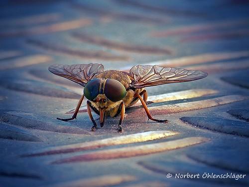 common housefly / Brille Fielmann