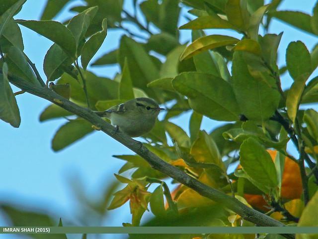 Lemon-rumped Warbler (Phylloscopus chloronotus)