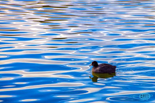 coot sunsetpark reflection water pond lasvegas paradise