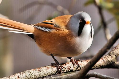 Bearded Tit | by Airwolfhound
