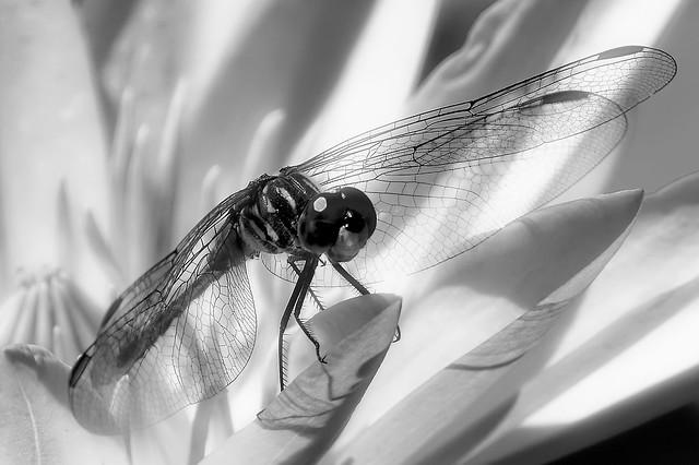 Black Dragon Lily White