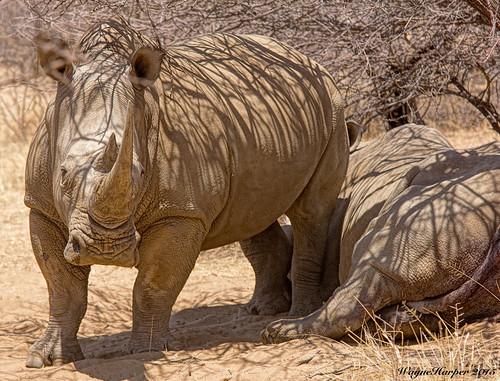 namibia rhinoceros