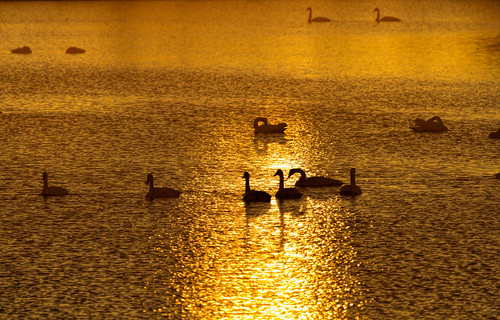 2016 alton canon december eos7d grafton illinois midwest mississippiriver missouri riverlandsmigratorybirdsanctuary trumpeterswans bird birds nature wildlife westalton unitedstates us