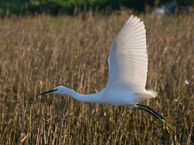 Garça branca /  Little Egret