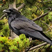 Common Raven - Photo (c) arbyreed, some rights reserved (CC BY-NC-SA)
