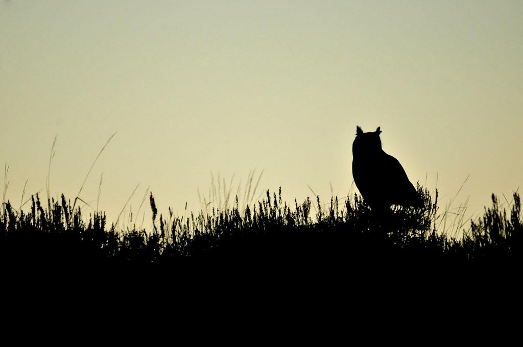 Great Horned Owl on Seedskadee National Wildlife Refuge