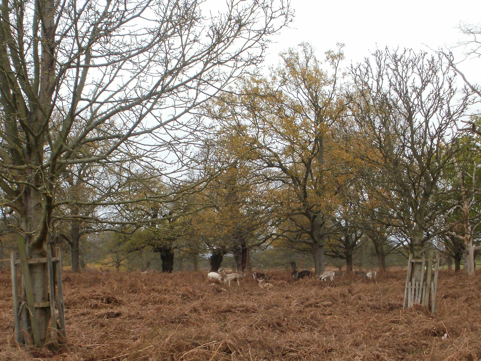 Deer in Richmond Park 1 OLYMPUS DIGITAL CAMERA