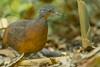 Crypturellus soui - Little Tinamou – Tinamú chico by santyramos076