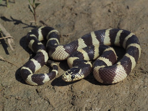 California Kingsnake (Lampropeltis getula californiae) | by NicholasHess