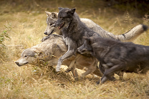 Grey Wolves (Timber Wolves), British Columbia, Canada