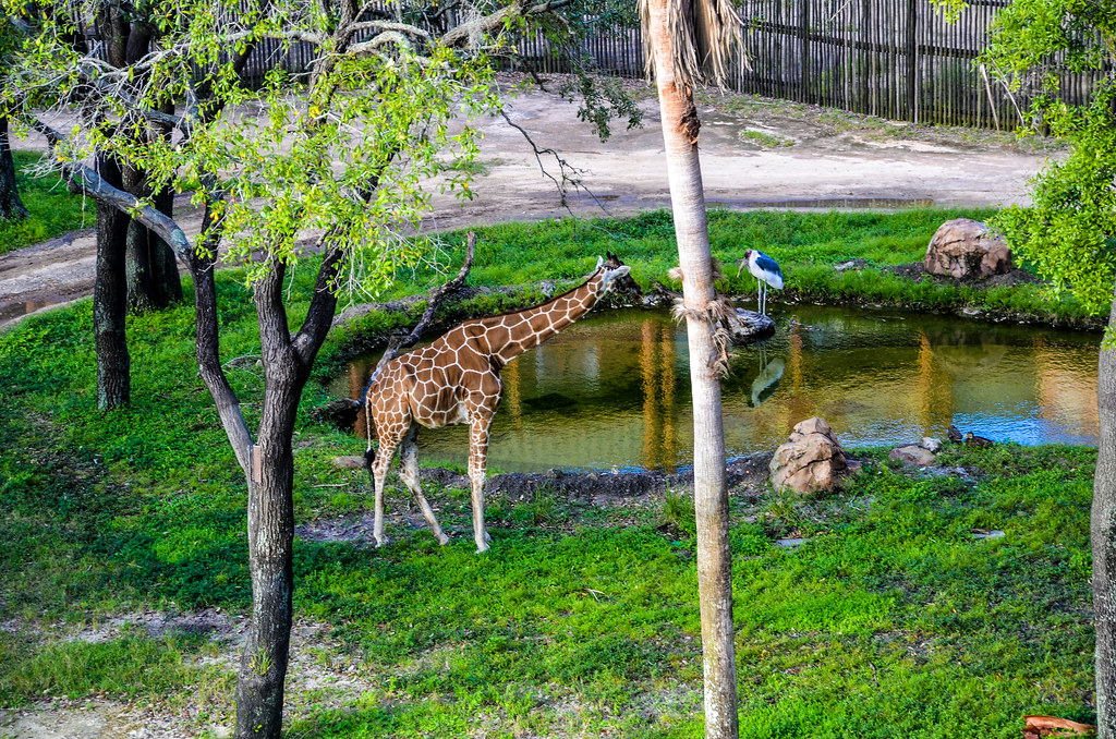 Giraffe Bird AKL