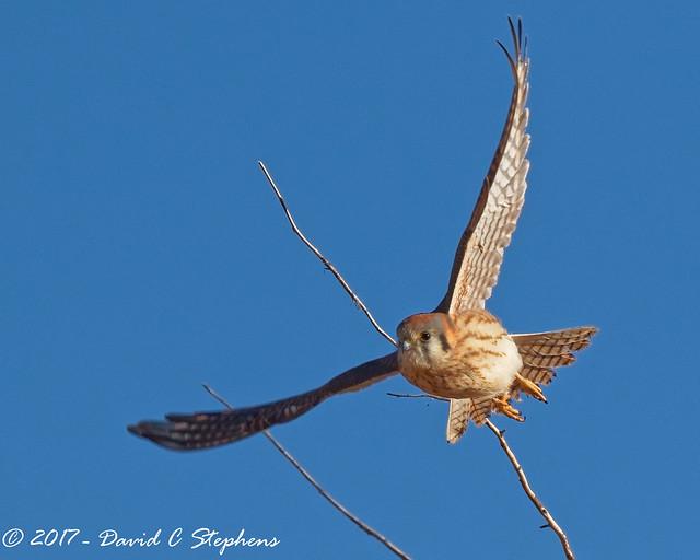 Kestrel Takes Flight
