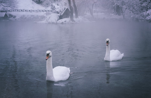 swan swans lake water waterfront river cold snow winter cool ice swimm swimming beautiful beauty melancholy melancolia bird birds love lonely loneliness lovely forest tree trees snowing fog fogy landscape landscapes nature natural animal animals