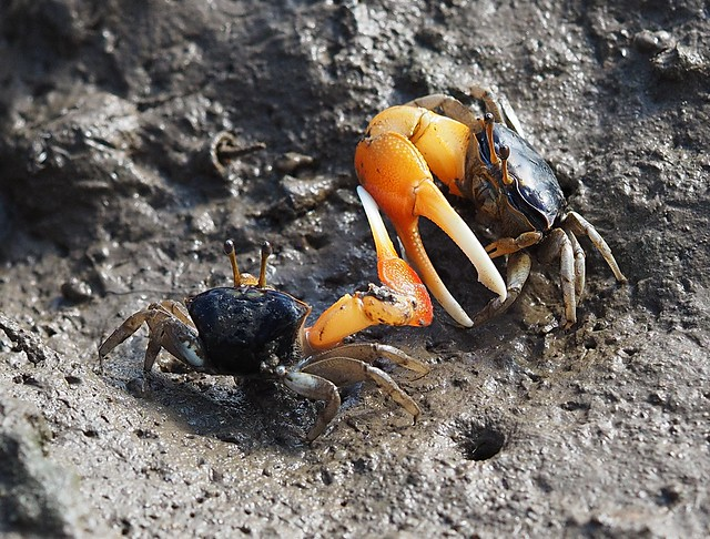 Orange Clawed Fiddler Crabs