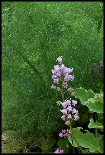 Hyacinthoides hispanica - jacinthe d'Espagne 22337529860_86d1467bc4
