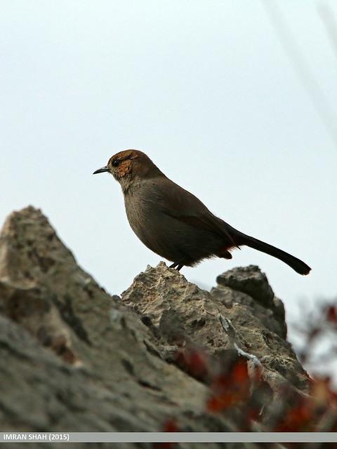 Indian Robin (Saxicoloides fulicatus)