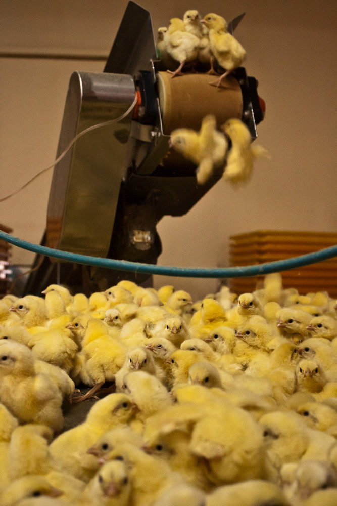 Investigation into chicken hatcheries | Animal Equality