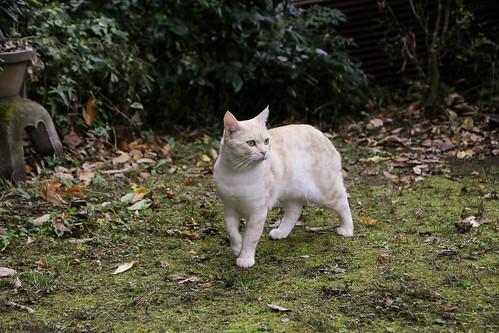 IMG_0643 Cream tabby Japanese cat 薄茶トラ猫