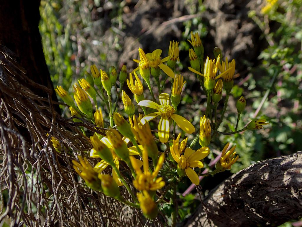 Pflanze mit gelben Blüten beim Abstieg vom Little Meru  - 2. Tag Mount Meru Tour zur Akklimatisierung. Tansania - Kilimanjaro Kraterschläfer Expedition 2016, Wikinger Reisen