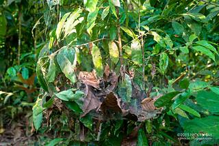 Social spiders (Anelosimus eximius) - DSC_1406