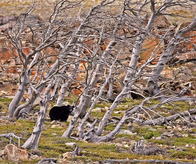 bear in the boneyard 6323 - Explored