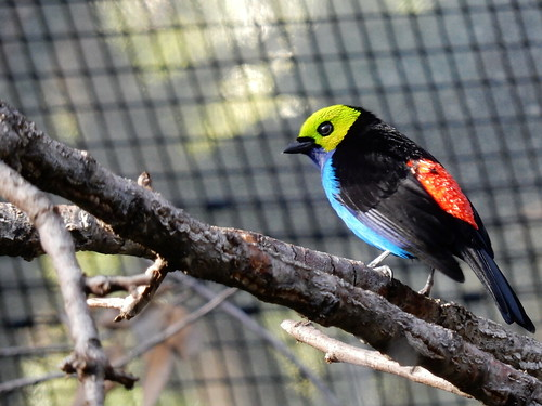 San Diego Zoo - Paradise Tanager