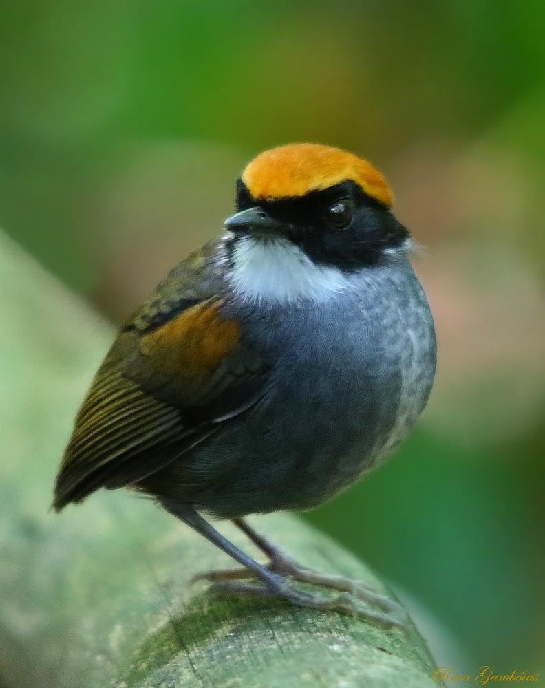 Cuspidor-de-máscara-preta | Black-cheeked Gnateater (Conopophaga melanops)