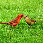 Cardinals in love.
