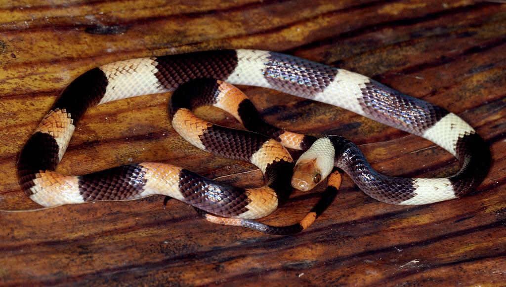 Banded Calico Snake (Oxyrhopus petola digitalis)