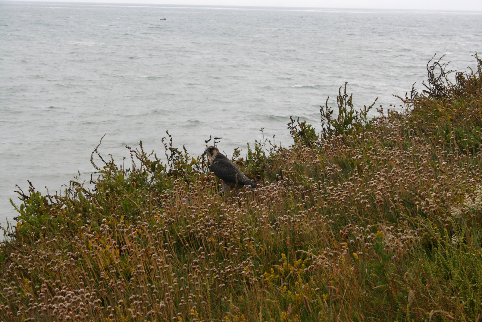 Kestrel on the cliffs near West Bay