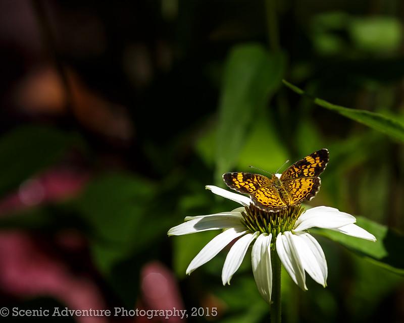 Moth on a Cone flower Daisy