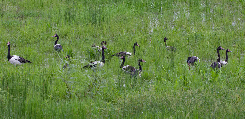 A gaggle of ...... magpie geese feeding amongst the wild rice