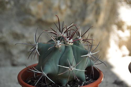 Ferocatus emoryi ou hystrix ? - Cotyledon orbicularis ou Crassula arborescens ssp undulatifolia ? - Mammillaria camptotricha 'Marnier-Lapostolle' (= Dolichothele) 32981829781_dd031c60bc