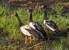 And then there were three ..... Magpie Geese (Anseranas semipalmata) by Geoff Whalan