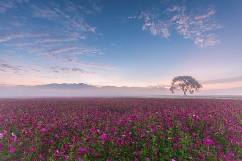 mist fog sunrise dawn taichung cosmos 日出 霧 晨 新社花海