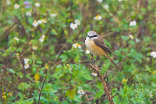 Brown Shrike, Lanius cristatus. | by jwsteffelaar