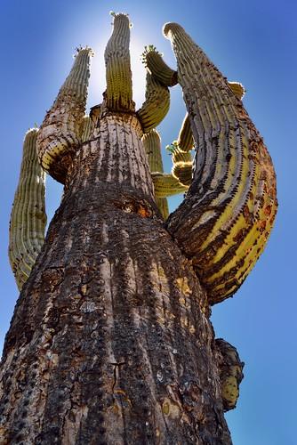 nikond800e day1 coronadonationalforest lookingsw lookingup capturenx2edited colorefexpro desert desertlandscape sonorandesert saguaro cactus carnegieagigantea saguarocactus sun sunshiningbehindcactus outside landscape nature sunny blueskies catalinahighway generalhitchcockhighway pimacounty skyislandscenicbyway mountlemmonhighway arizonaforesthighway39 desertplantlife arborescenttreelikecactus project365 arizona unitedstates