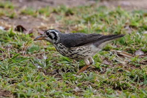 groundscraperthrushpsophocichlalitsitsirupa damaraland namibia nature oiseaux khorixas kuneneregion namibie